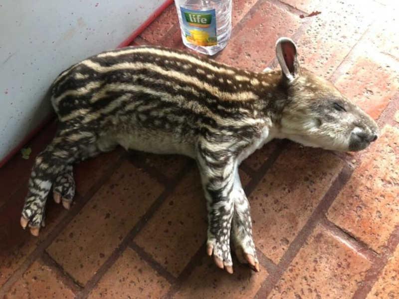 Polícia Ambiental captura filhote de anta ferido em chácara de Jaraguari, MS