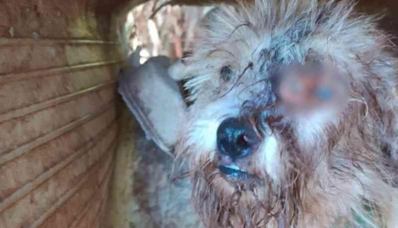 Preso por maus-tratos a cadelinha que tinha larvas no olho ganha liberdade