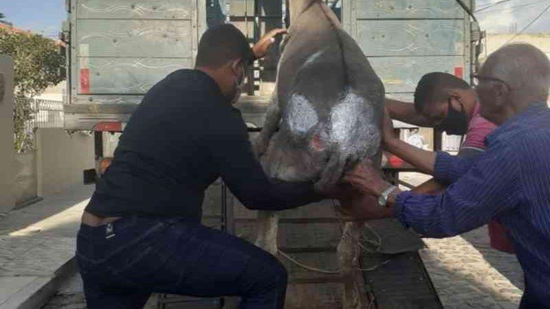 Jumento é resgatado pelo Centro de Zoonoses de Petrolina (PE) após sofrer maus-tratos