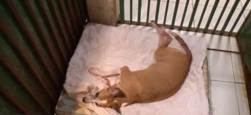 Cadela paraplégica após sofrer maus-tratos aguarda adoção em Teresina, PI