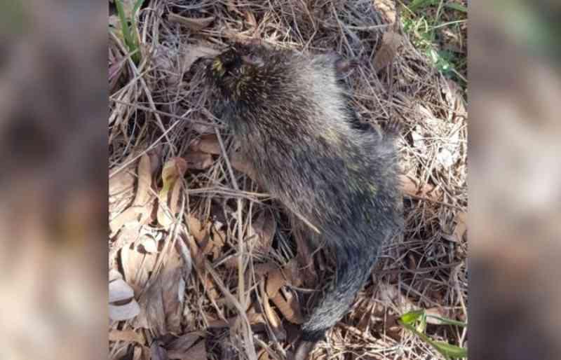 Crueldade: ouriço é morto a pedradas antes da chegada da Defesa Civil, no PR