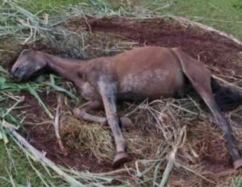 Cavalo agonizou por mais de 3 dias sem água e alimento no PR