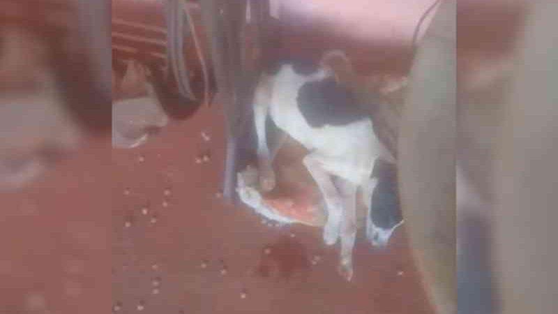 Cachorros continuam sendo mortos de forma criminosa em Marilândia do Sul, PR