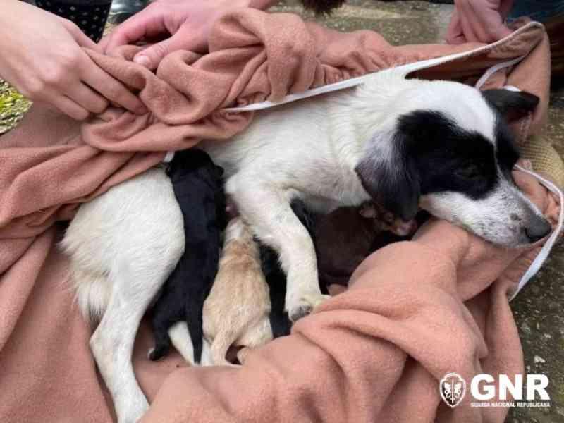 GNR resgata cães recém-nascidos e uma cadela abandonados num saco em Covilhã, Portugal