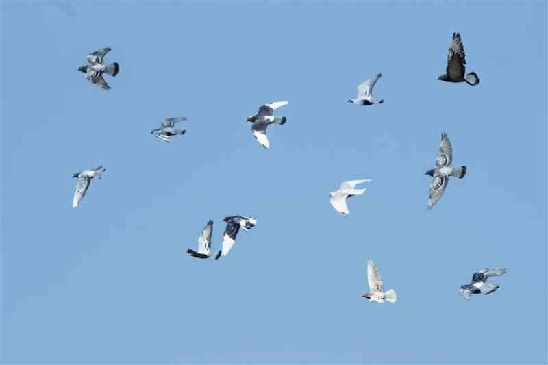 Partido quer proibir tiro aos pombos em Portugal