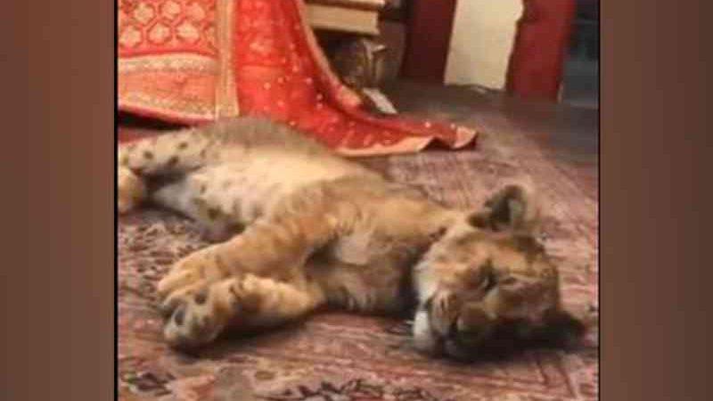 Ativistas criticam Paquistão pelo uso de um filhote de leão sedado em uma sessão de fotos de noiva