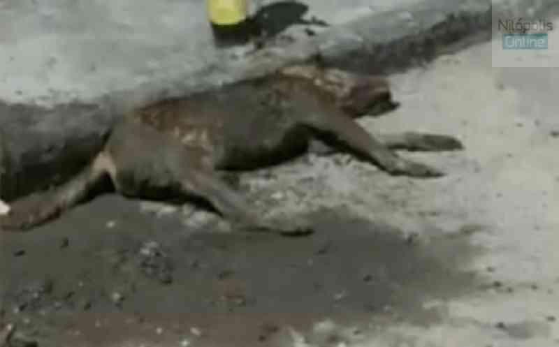 Crueldade: cachorro é atropelado e baleado com chumbinho em Nilópolis, RJ