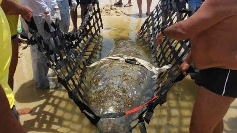 Peixe-boi marinho encalha e é resgatado em praia da Grande Natal, RN