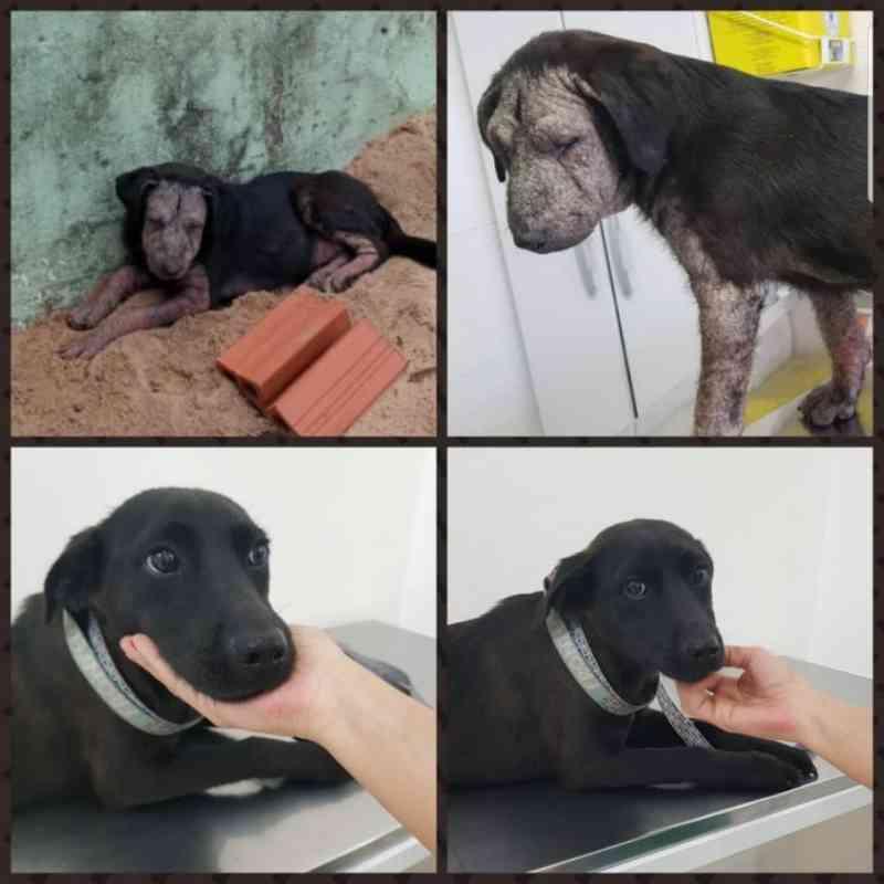 A incrível transformação de Graça: cadela resgatada do cemitério está curada e pode ser adotada