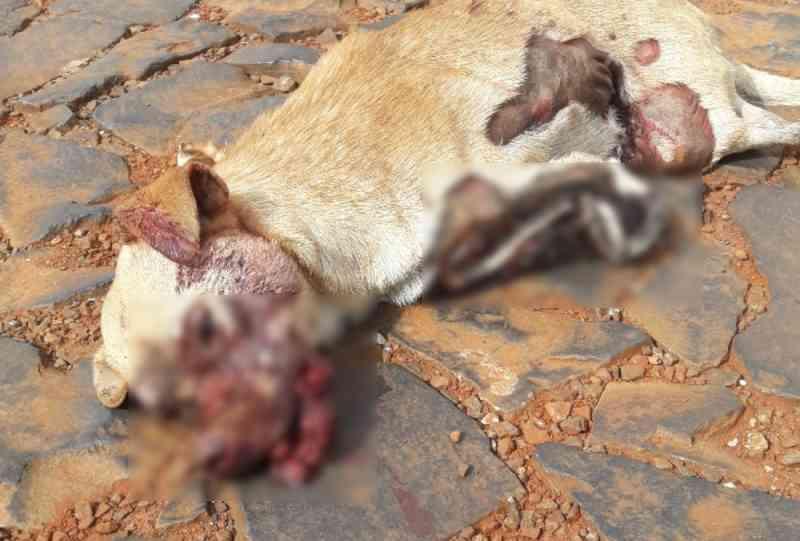 Cena forte: cão espancado é abandonado em frente à Clínica Veterinária de Xanxerê, SC