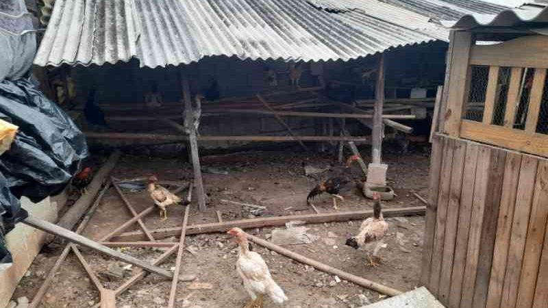 Casa usada para rinha de galos é interditada com mais de 120 aves em Ferraz de Vasconcelos, SP