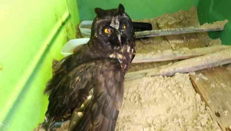 Coruja tem parte de asa amputada após ser atropelada em Ilha Comprida, SP