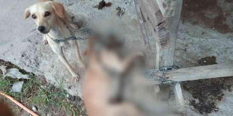 Cachorro em situação de maus-tratos é encontrado enforcado por corrente, em Itanhaém (SP)
