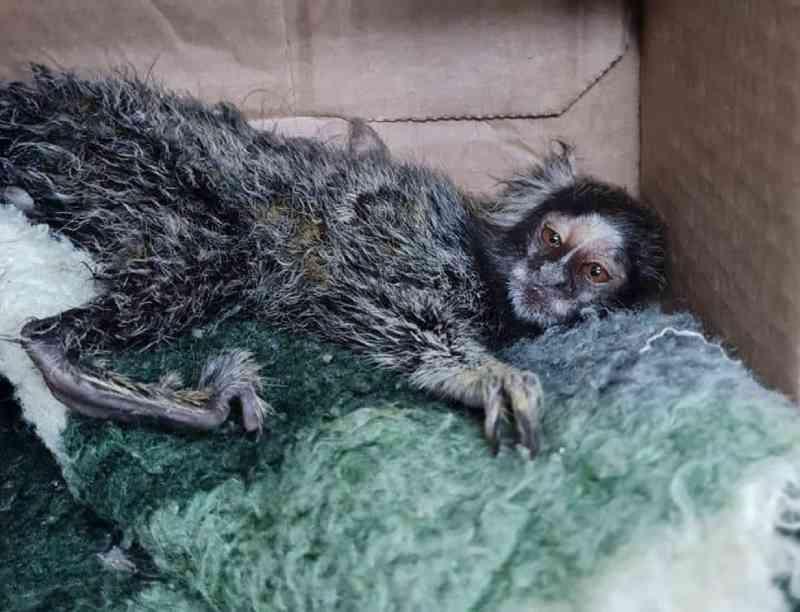 Dupla é detida por tráfico e maus-tratos de animais ao negociar venda de sagui em Paulínia, SP