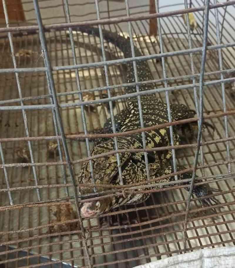 Homem é multado em R$ 3 mil por maus-tratos a lagarto teiú, em São Vicente, SP