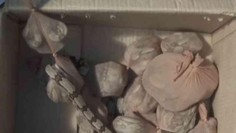 Pacote com 15 jiboias é apreendido nos Correios em SP; duas escaparam da caixa