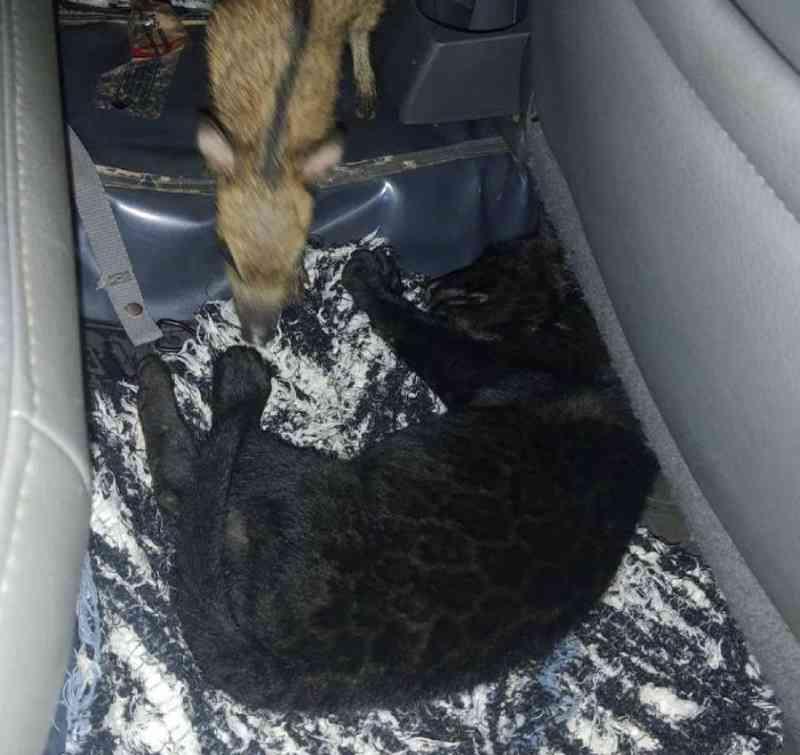 Filhotes de onça preta e caititu são encontrados em caminhonete durante abordagem na divisa do Tocantins com Pará