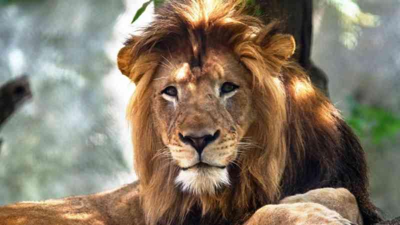 Restos mortais de seis leões encontrados num parque nacional no Uganda