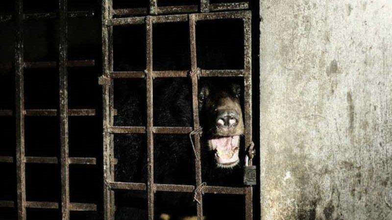 """Animais eram vítimas de uma 'fazenda de bile"""" ilegal no Vietnã. Fluido do fígado dos animais é valioso na medicina tradicional."""
