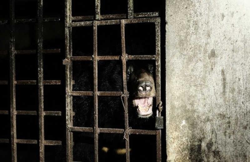 Ursos resgatados em fazenda ilegal não viam luz do dia há 17 anos