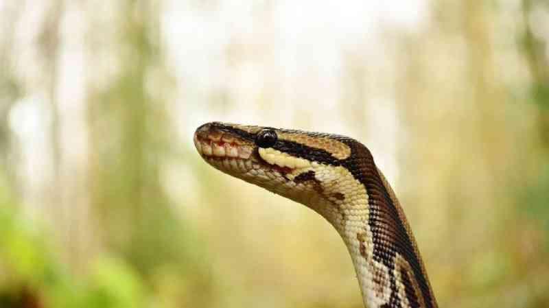 Cobras são infladas até a morte para extração de pele no Vietnã; veja o vídeo