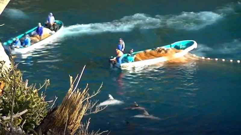 Como caçadores usam tortura sonora para encurralar e matar golfinhos