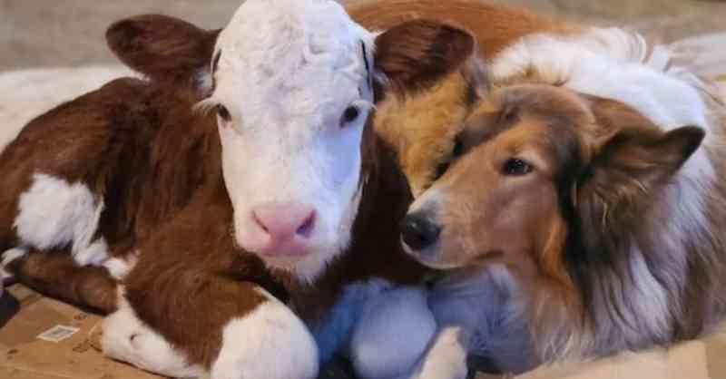 Cachorra 'adota' bezerra recém-nascida que morria de frio e ganha melhor amiga