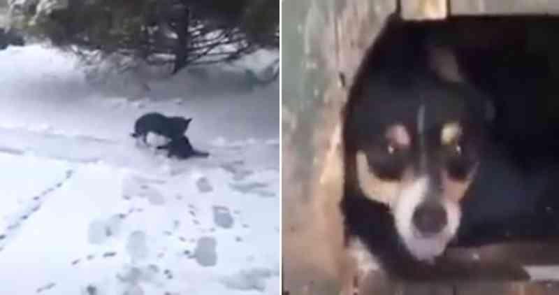 Cachorro encontra gato congelando na neve e o arrasta para um local seguro