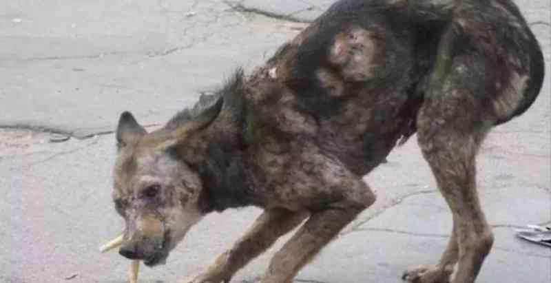 Casal europeu resgata uma cachorra 'zumbi' na rua para salvá-la