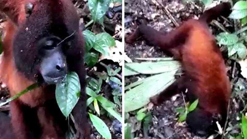 Macacos encontrados agonizando no AC estavam com febre amarela, diz estudo