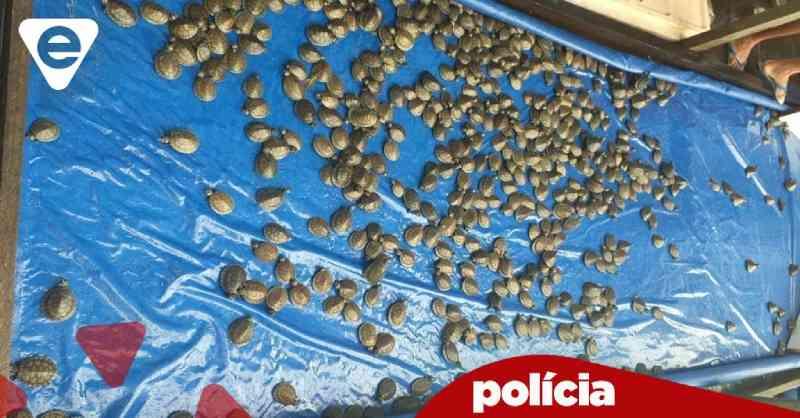 Homem é preso por transportar 684 filhotes de tartaruga ilegalmente