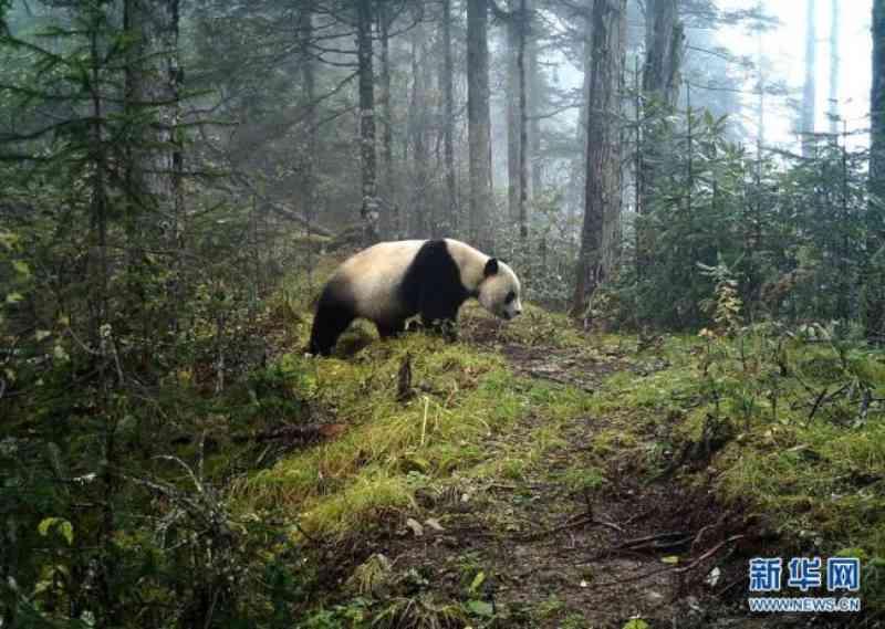 Protetores de pandas gigantes