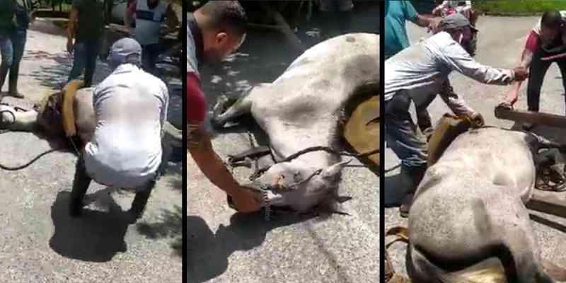 Terrível caso de maus-tratos: égua caiu de cansaço e foi arrastada