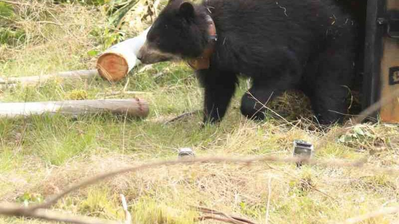 Ursa andina é devolvida à natureza