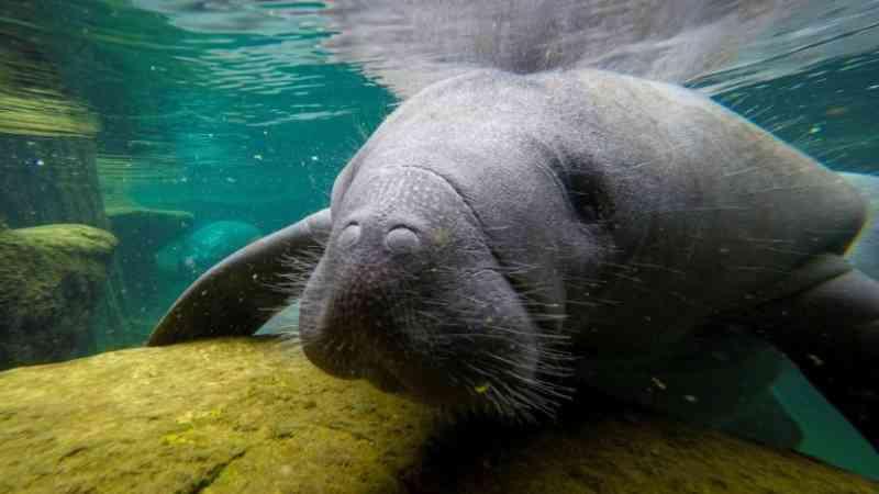 Mortandade inédita de peixes-boi sobrecarrega centros de cuidados na Flórida, EUA