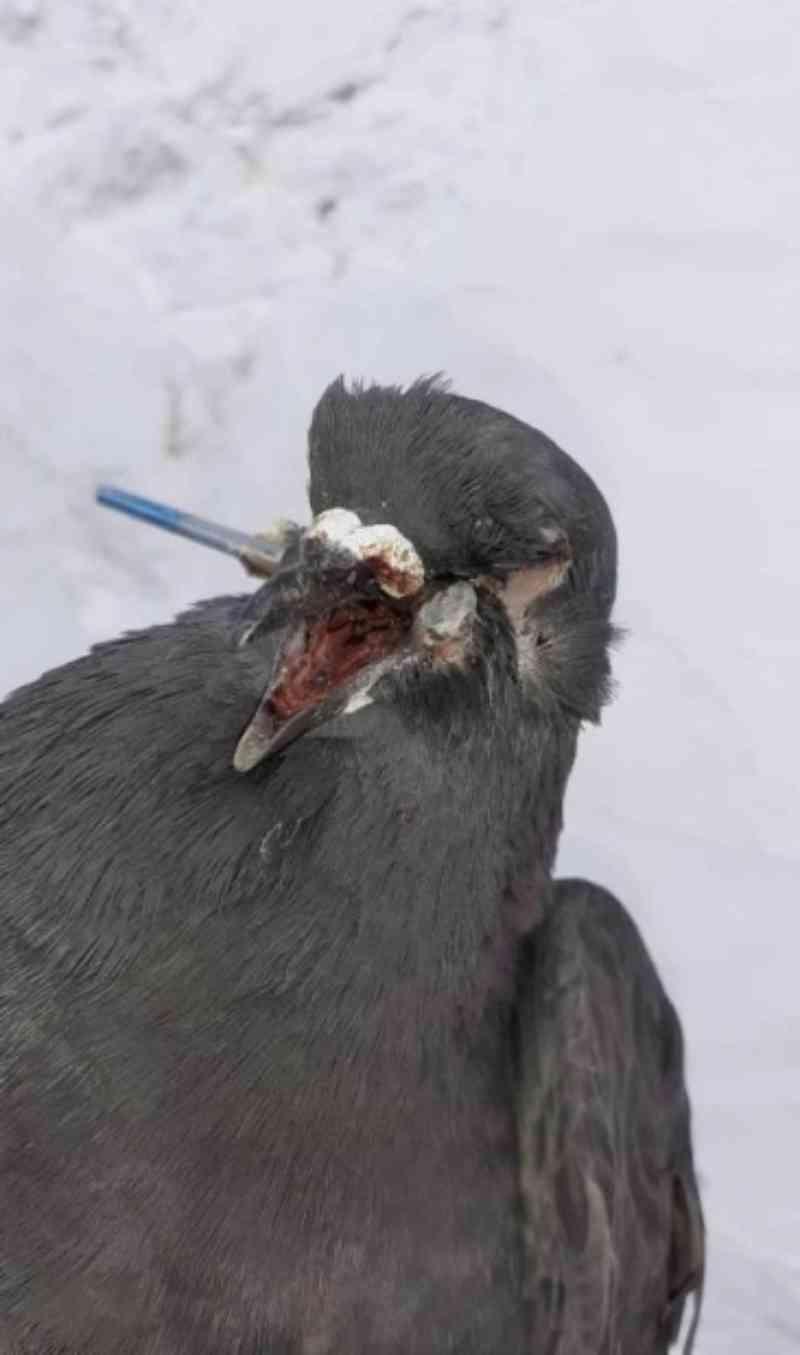 Pombo é atingido no rosto com uma pistola de pregos; ativistas procuram o agressor