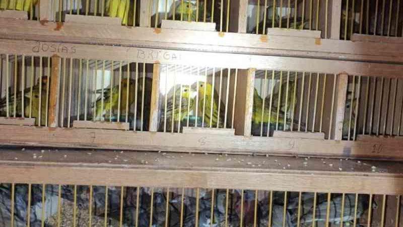 Dupla é presa com mil pássaros silvestres após tentativa de fuga em Posse, GO