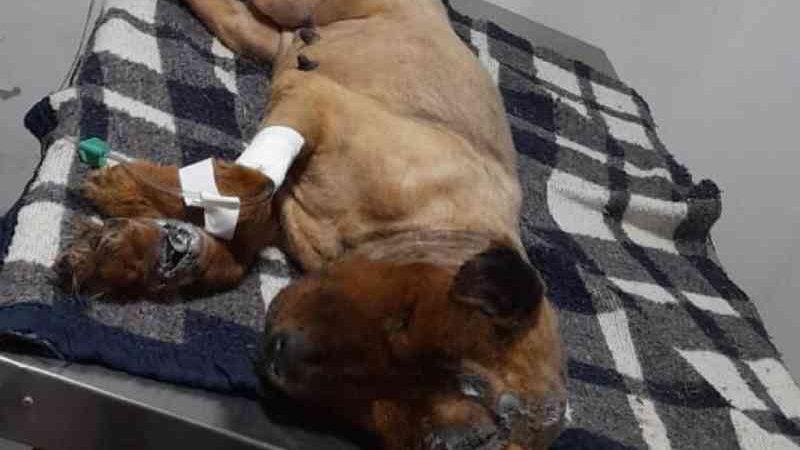 Cadela é achada com vários cortes embaixo de saco cheio de entulho em lote baldio de Cidade Ocidental, GO