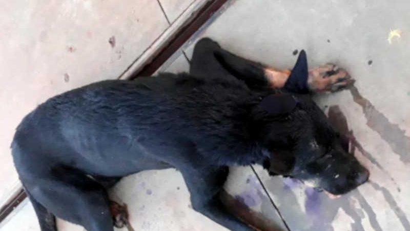 Cachorro é encontrado baleado em Carmo do Rio Verde — Foto: Arquivo pessoal/Pablo Ricardo Alves de Moraes