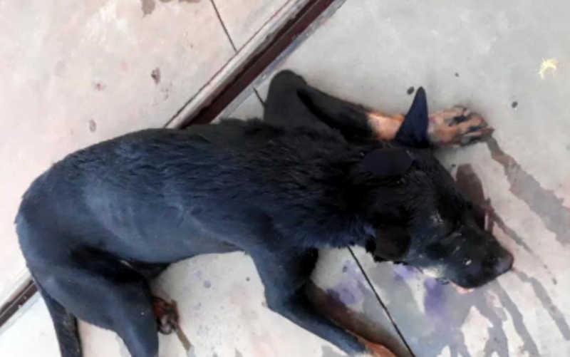Veterinário encontra cachorro baleado e com sinais de espancamento em rua de Carmo do Rio Verde, GO