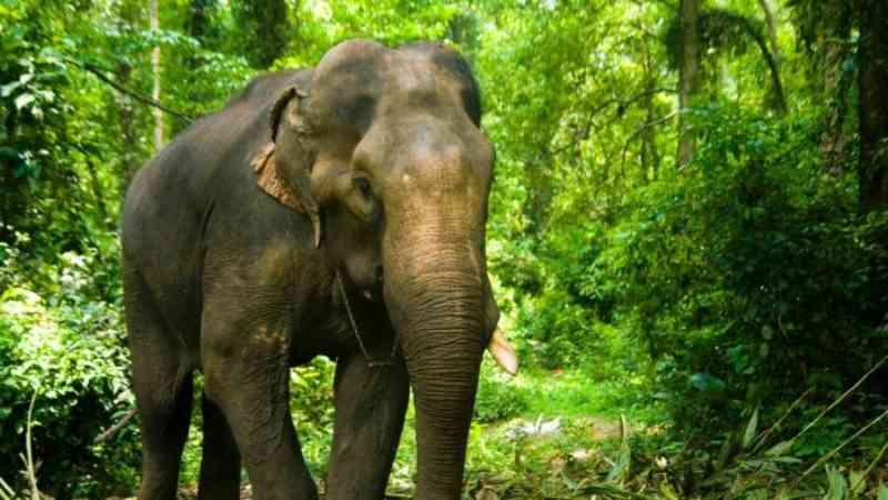 Questões éticas sobre a captura 'forçada' do elefante Kusha na Índia
