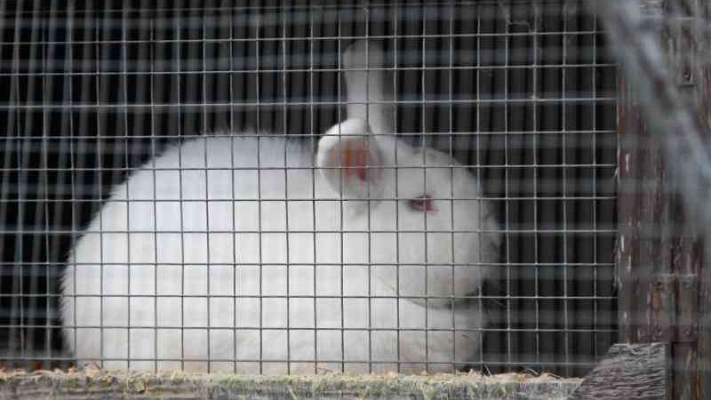 Investigadores encontram condições terríveis nos criatórios de coelhos na Inglaterra