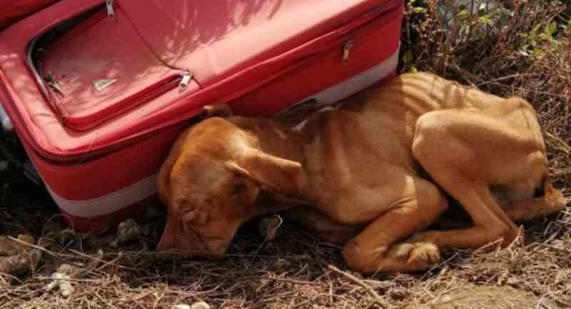 Um guerreiro! Cãozinho abandonado dentro de uma mala resistiu aos maus-tratos e foi resgatado