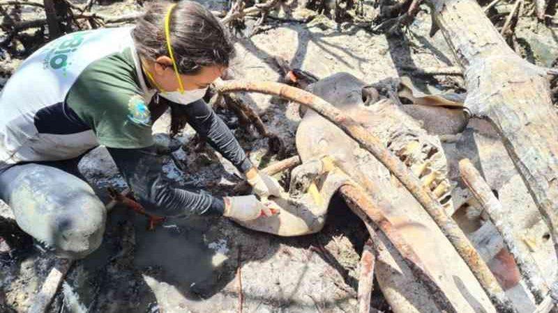 Peixe-boi marinho é encontrado morto no interior do Maranhão