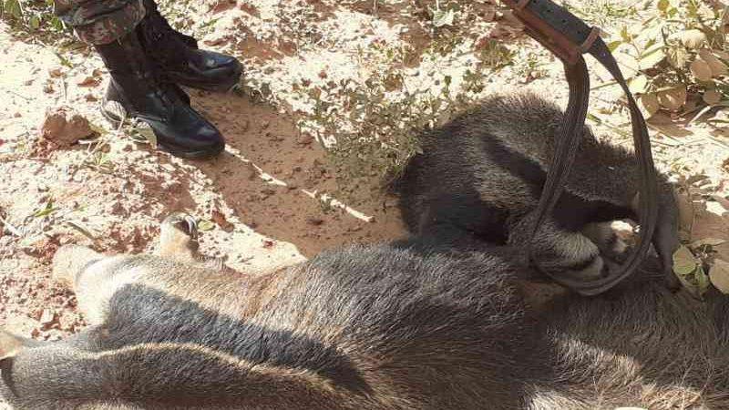 Polícia resgata filhote de tamanduá agarrado ao dorso da mãe morta em atropelamento em MS