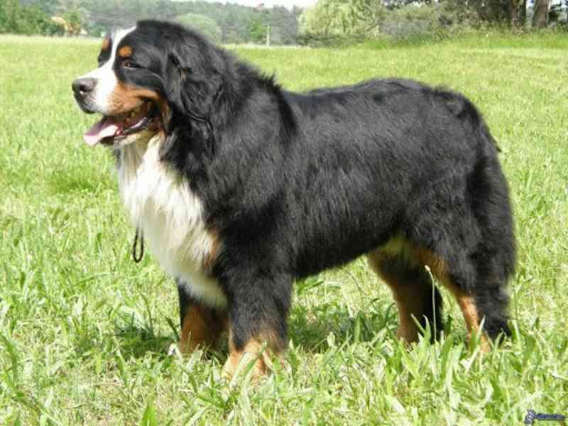 Condomínio é obrigado a autorizar que morador mantenha cão de grande porte no local em MS