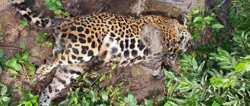 Corpo de animal estavam em avança estado de decomposição, conforme ambientalistas (Foto: Divulgação/IHP)