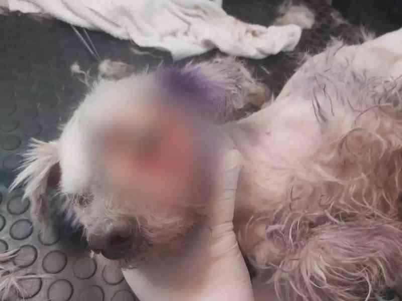 Moradores abandonam cachorro sem comida e com olho em putrefação