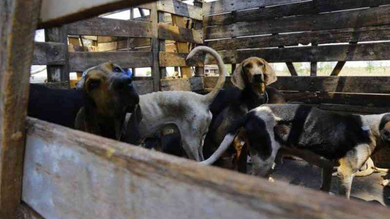 Depois de 1 ano e meio, ONG que resgatou 40 cães de caça vive impasse judicial por guarda dos animais em MS