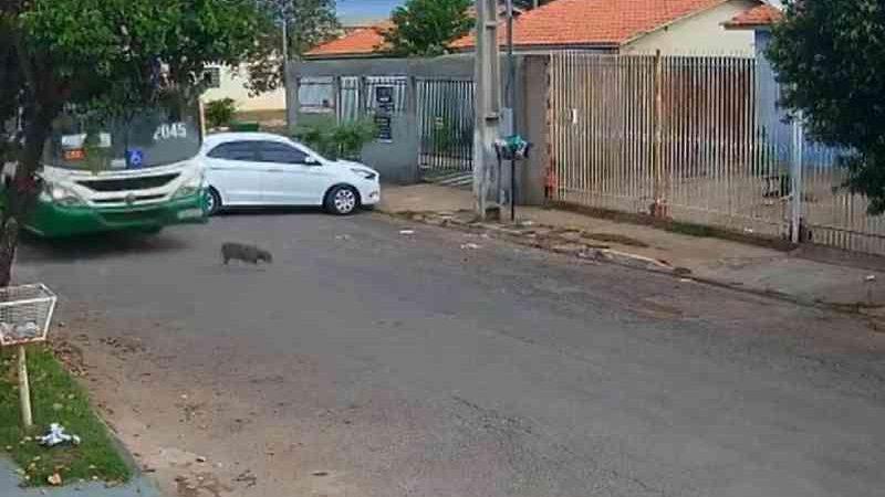 Vídeo: ônibus atropela e mata cachorro em Cuiabá, MT; motorista é apenas advertido